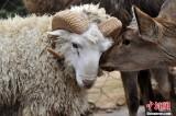 """跨越种族的""""爱情"""":绵羊爱上鹿"""