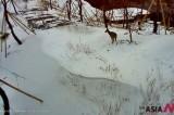 白头大干生态通道的獐子